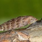 laciniaria plicata
